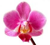 Orchidées: drogue ou passion?