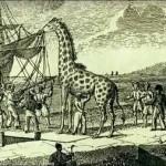 La première girafe en France