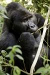 Gorille de l'Est, mâle adulte (c) Jean-Michel Krief