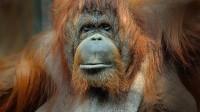 Orang-outan de Bornéo, femelle adulte (c) MNHN, François-Gilles Grandin