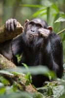 Chimpanzé utilisant une baguette pour récupérer du miel. Ouganda (c) Jean-Michel Krief