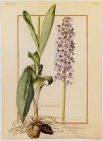 Pierre-Joseph Redouté, Eulophia spectabilis (c) MNHN, RMN, T