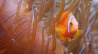 Poisson Clown @ Aquarium Tropical