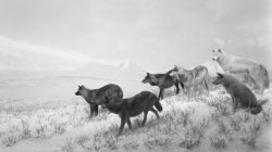 Hiroshi Sugimoto, Alaskan Wolves, 1994 Tirage gélatino-argentique, 120 × 210 cm Collection de l'artiste. © Hiroshi Sugimoto