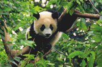 Grand panda © hung Chung Chih / shutterstock.com
