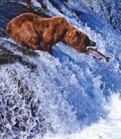 Ours brun qui pêche © Gleb Tarro / shutterstock.com